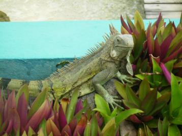 Marine Iguana Bonaire
